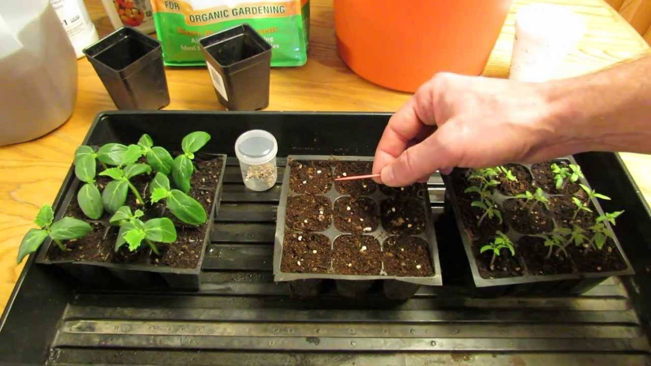 GROW TOMATO PLANTS FROM SEED